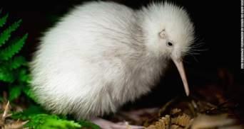 """""""Огромное благословение"""": мир потерял уникальную птицу Manukura"""