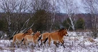 Редких лошадей Пржевальского заметили зимой в Чернобыльской зоне: фото