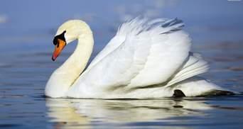 По крыло в воде: в Луцке спасли семью лебедей из ледяной ловушки – фото
