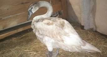 На Киевщине спасли лебедя от ледяной смерти: щемящие фото