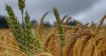 Украина потеряла миллионы тонн зерна из-за погоды