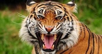 Тигр загриз працівника в зоопарку на Чернігівщині: що відомо про трагедію