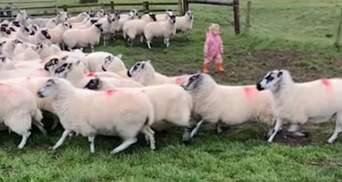 Талантливая девочка: 2-летний ребенок виртуозно загоняет стадо овец – видео
