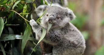 Врятували коалу: стоматолог з Австралії зробив протез ноги для милої тварини