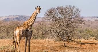 """В ЮАР супруги убили жирафа: сделали из сердца """"валентинку"""" – шокирующие фото 18+"""