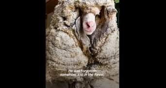 Гора шерсті: вівця 5 років блукала лісом і її ніхто не стриг – відео