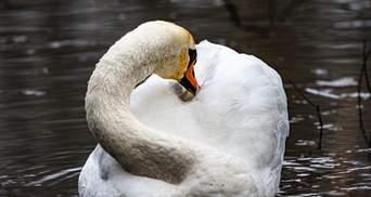На Херсонщині загинули 20 лебедів: тіла птахів передали для експертизи