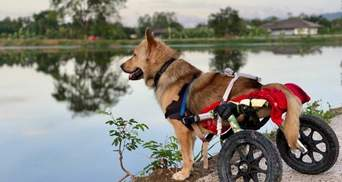 Багато щасливих собак: як у Таїланді рятують тварин з інвалідністю