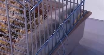 Саакашвілі на ефір до Шустера приніс щура: тварину звуть Еліта Корупція – відео