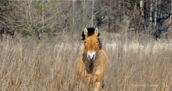 В Чернобыльской зоне живут невероятные лошади Пржевальского: фото