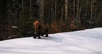 Предотвратил трагедию: в Румынии инструктор отвлек бурого медведя от группы лыжников