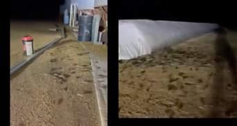 "Нашестя мишей в Австралії: гризуни ""захопили"" ферми, супермаркети та кусають людей – відео"