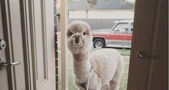 Їздить в машині й спить на килимку: як живе альпака, що має пів мільйона підписників
