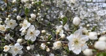 Зима посреди весны: удивительные фото цветущих деревьев под снегом на Закарпатье