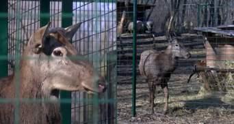 У Краматорську врятували благородного оленя: тварина потрапила у пастку браконьєрів