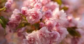 В Ужгороді масово квітнуть рожеві сакури: мальовничі фото