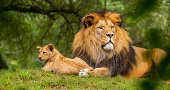У Південній Африці заборонять розводити левів у неволі з комерційною метою