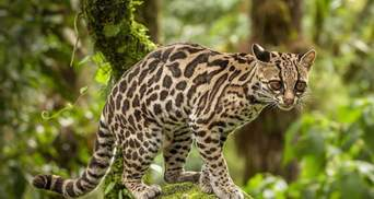 Кішки маргай: рідкісні тварини, яких можна тримати вдома
