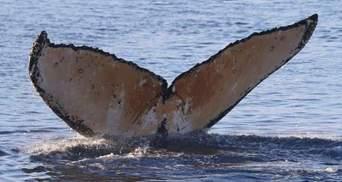 Українські полярники побачили китів-горбачів: тепер вони потраплять до китового фейсбуку