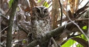 У Малайзії виявили сову, яку у природі не бачили понад 100 років