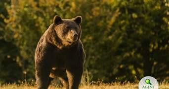 Австрийского принца заподозрили в убийстве крупнейшего медведя в Евросоюзе – Артура: фото 18+