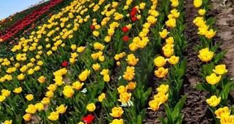 Ще одна квітуча локація: на Хмельниччині розквітло тюльпаново-нарцисове поле – мальовничі фото