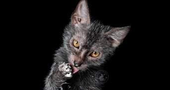 Лагідні коти-перевертні: як з'явилася особлива порода ликой