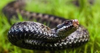 На Львовщине 72-летнюю бабушку укусила змея: женщина попала в больницу
