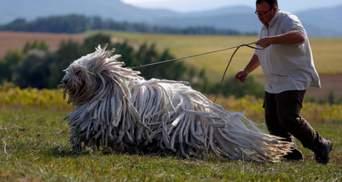 Порода комондор: собаки із дивною шерстю, що нагадує швабру чи дреди