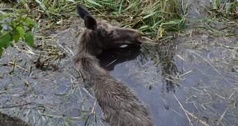 Могла загинути: на Рівненщині з очисної споруди врятували червонокнижну лосицю