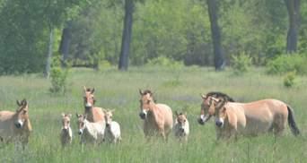 В Чернобыле родились редкие лошади: опубликованы фото