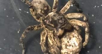 Отруйні тарантули нападають на жителів Дніпра: фото