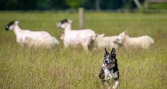 Глуху літню бордер-коллі навчили мови жестів, щоб вона могла пасти овець