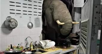 Пробив стіну: у Таїланді слон вдерся до будинку в пошуках їжі – відео