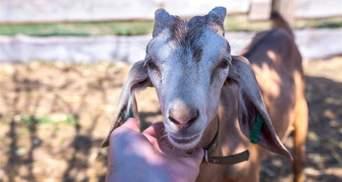 П'яні жителі Дніпропетровщини вкрали козу: провернули цілу операцію – фото