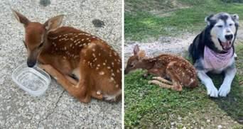 Обіймає і захищає: як собака стала другом хворому оленяті – фото