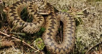 В карпатском селе 30-летнюю женщину укусила змея: пострадавшая – в больнице