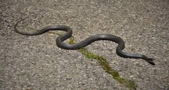 На Рівненщині змія вкусила в ногу дитину: 14-річну дівчинку госпіталізували