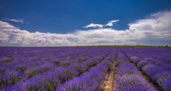 Ще одна квітуча локація: на Хмельниччині для туристів відкрили лавандове поле – фото