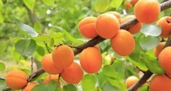 У чому користь абрикосів та кому їх варто їсти