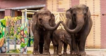 У Британії можуть заборонити утримувати слонів у зоопарках: як це планують зробити