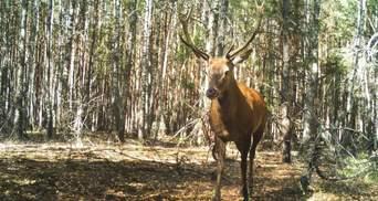 У 20 столітті їх майже винищили: у Чорнобилі фотопастки зафіксували рідкісних тварин – фото