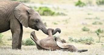 На это можно смотреть вечно: захватывающее видео, как играют слонята