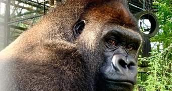Впервые в жизни: горилла Джоши одолела 9 тисяч километров пути к свободе – видео