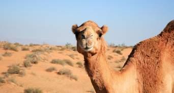 Чому мільйони людей п'ють сечу верблюда