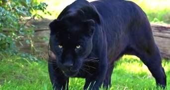 В экопарке под Полтавой на мужчину напала пантера и укусила за голову