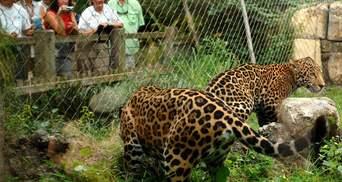 Не погрожуй ягуару: чоловік проліз у вольєр до хижака, щоб побити його – чим закінчилася історія