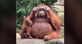 Самка орангутана приміряла окуляри відвідувачки зоопарку і епічно їх повернула: смішне відео