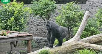 Улюбленець киян: горилу Тоні з Київзоо випустили до відкритого вольєру – милі фото