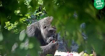 Свято єдиної в Україні горили: як Тоні з КиївЗоо святкував День народження – фото